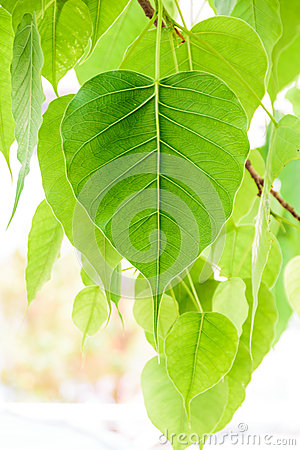 Free Bodhi Or Peepal Leaf From The Bodhi Tree S Stock Images - 40496084