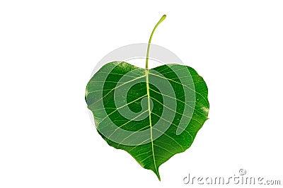 Bodhi or Peepal Leaf