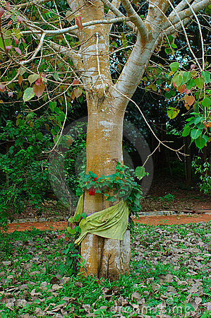Bodhi Tree wrapped with Thai Silk. Surat, Thailand.