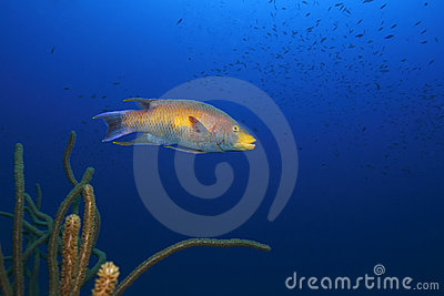 Bodianus猪鱼rufus西班牙语