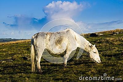Bodmin Moor Cornwall Pony