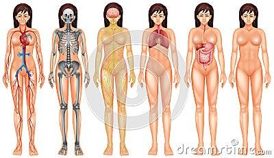 body systems stock illustration - image: 52821831, Cephalic Vein