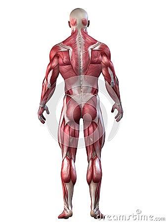 Bodybuilder anatomy