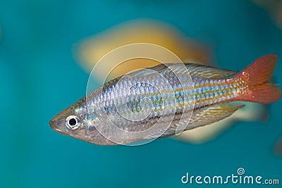 Boesman s rainbow fish