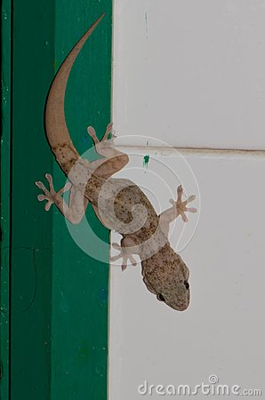 Free Boettger`s Wall Gecko Royalty Free Stock Photo - 106647925