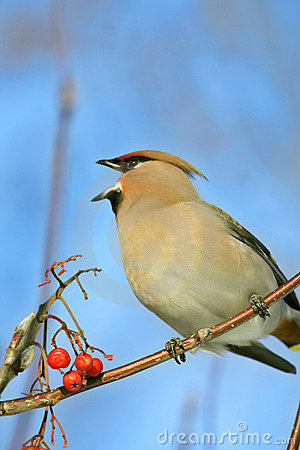 Free Bohemian Waxwing Royalty Free Stock Image - 3858406