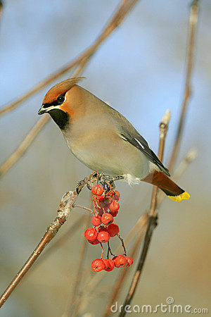 Free Bohemian Waxwing Stock Images - 3858424