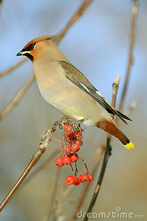 Free Bohemian Waxwing Royalty Free Stock Photo - 3858485