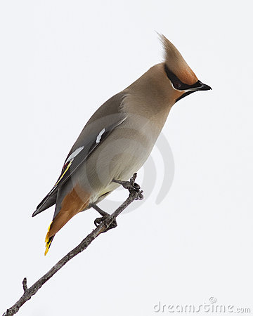 Bohemian Waxwing close up