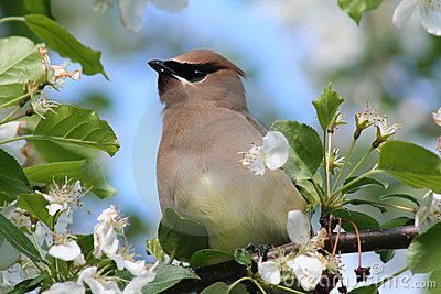 Bohemian Waxwing in Crabapple Tree