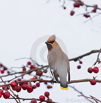 Free Bohemian Waxwing On Tree With Berries Stock Photography - 9080742