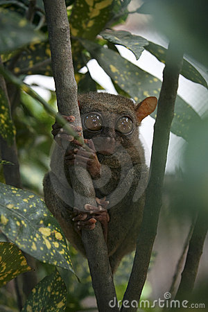 Bohol jungle tarsier monkey philippines