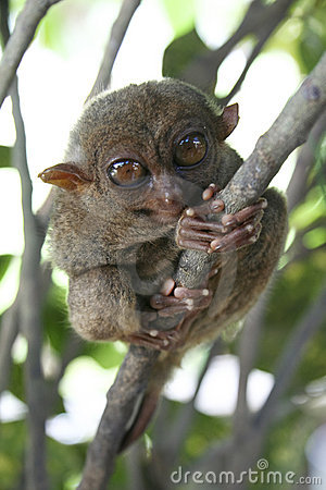 Free Bohol Tarsier Monkey Philippines Royalty Free Stock Images - 7526389