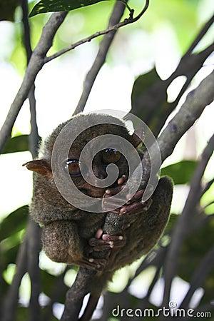 Free Bohol Tarsier Monkey Philippines Royalty Free Stock Image - 9139026