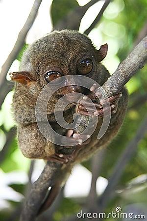 Free Bohol Tarsier Monkey Philippines Jungle Royalty Free Stock Photography - 9138997