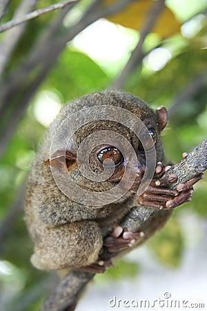 Bohol wild tarsier philippines jungle