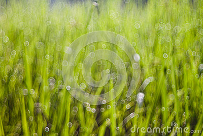Bokeh of the rice field