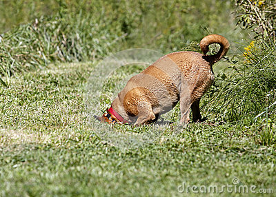 Boksera/Rhodesian ridgeback mieszający trakenu pies