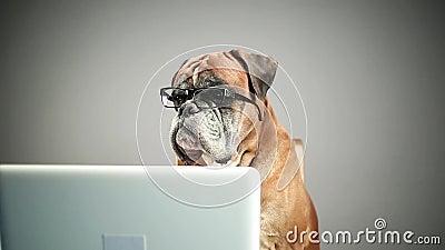 Bokserhond met oogglazen die aan laptop werken stock videobeelden