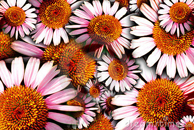 Bold Floral Background (Echinacea)