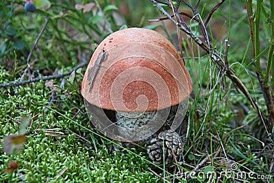 Boletus aurantiacus
