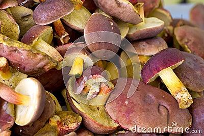 Boletus badius mushrooms close up