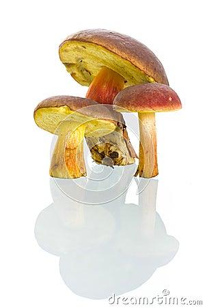 Boletus badius mushrooms with reflection