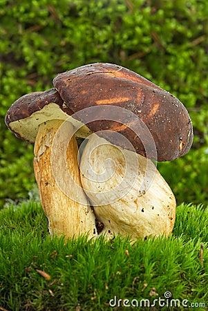 Boletus badius (Xerocomus badius) mushroom