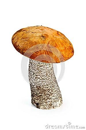 Boletus d orange-capuchon de champignon de couche