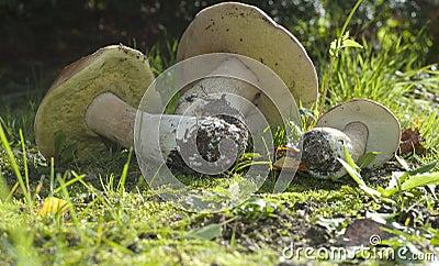 Boletus edulis. Edible mushroom