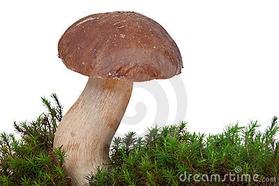 Boletus Edulis with moss