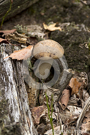 Boletus in the forest