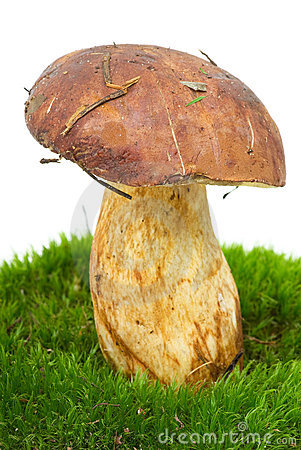 Boletus  on the green moss