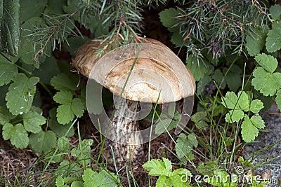 Boletus (lat. Leccinum).