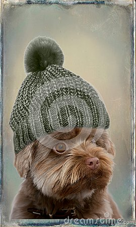 Free Bolonka With Bobble Hat Stock Photo - 103172840