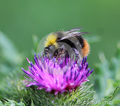 Free Bombus Pratorum Royalty Free Stock Images - 94312829
