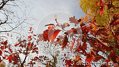 Bomen met rode en gele bladeren Autumn Park De heldere stralen van de zon Camera in beweging stock videobeelden