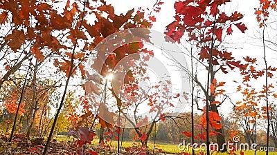 Bomen met rode en gele bladeren Autumn Park De heldere stralen van de zon Langzame beweging stock video