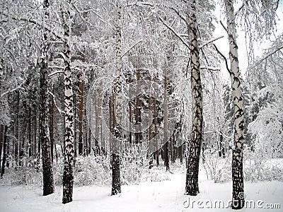 Bomen onder sneeuw