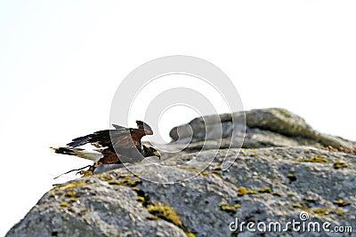 Bone Hill Rocks Predator