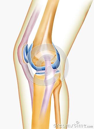 Free Bone Knee Royalty Free Stock Photo - 7601475