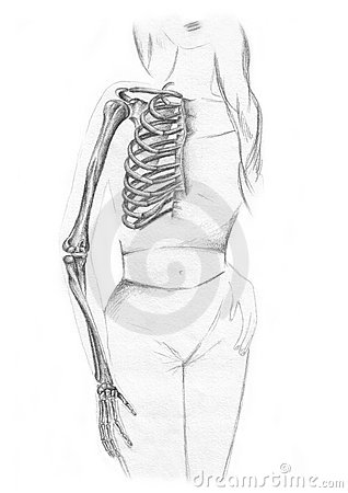 Bones of the chest and the arm - skeleton