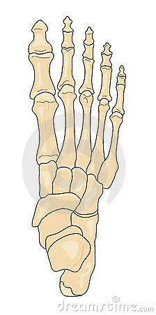 Bones of the Foot