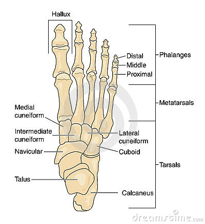 Bones of the foot, labeled