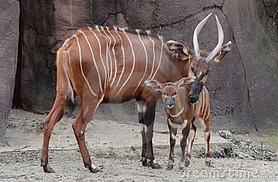 Bongo mother and calf