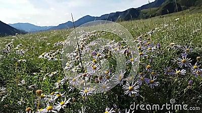 Bonito campo con muchas margaritas moradas. Las montañas son visibles en el fondo. Gran prado florido con insectos voladores almacen de metraje de vídeo
