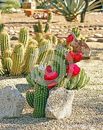 Bonker hedgehog cactus
