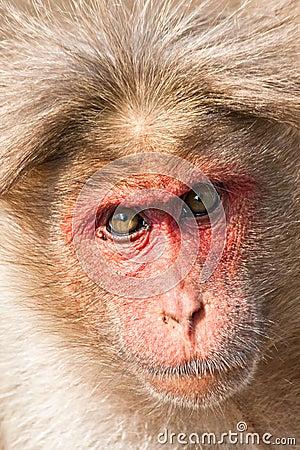 Bonnet Macaque Closeup Portrait