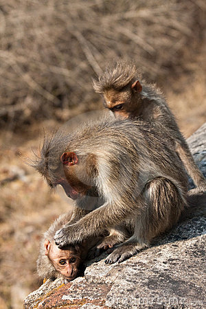 Bonnet Macaque Family Grooming by the Roadside