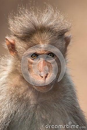 Bonnet Macaque Portrait